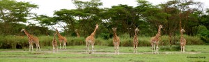 Line up of Rothschild's Giraffe