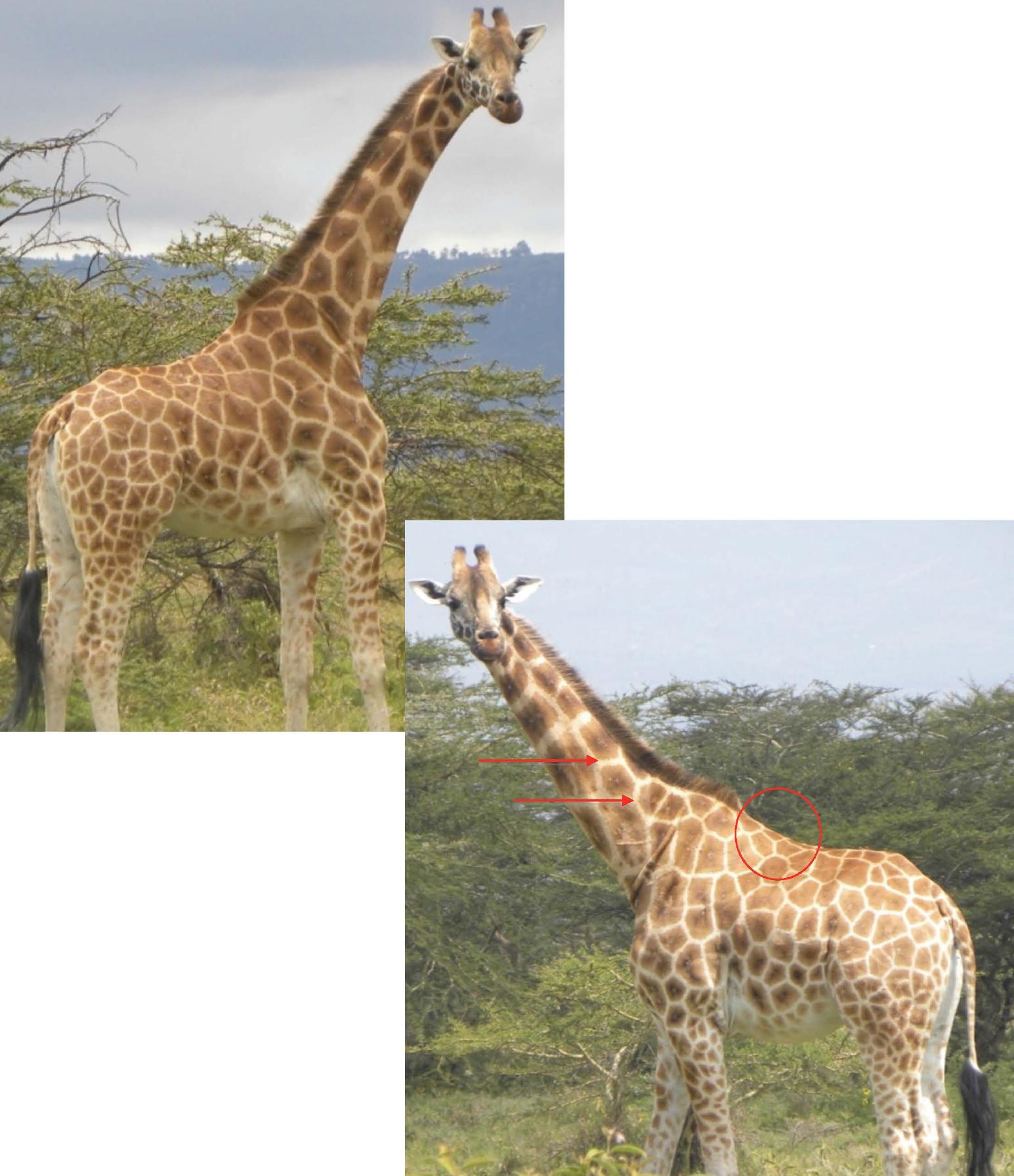 Giraffe identification