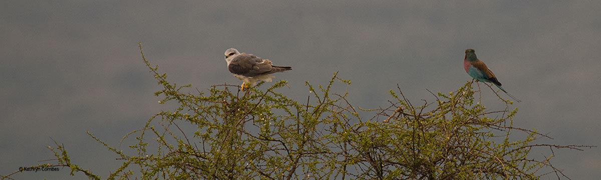 Black-Shouldered Kite and Rufous-crowned Roller