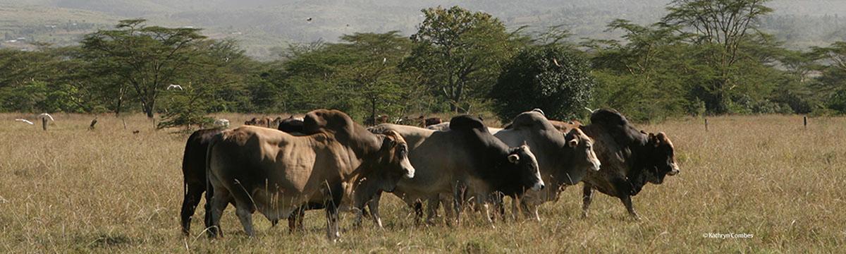 Bulls walking
