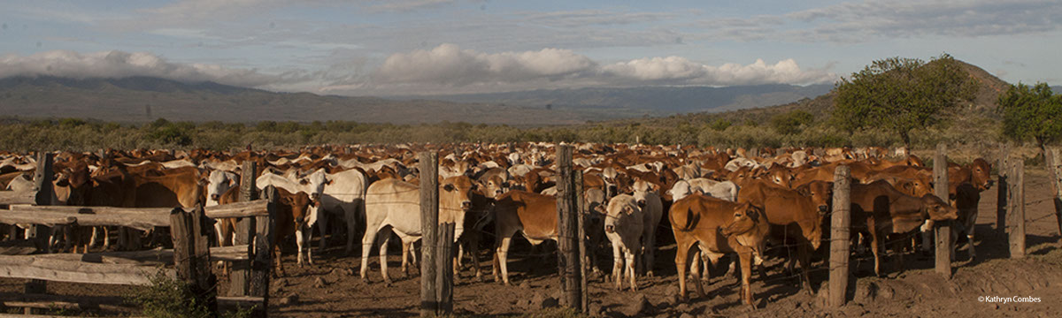 Cattle in a bomas enclosure