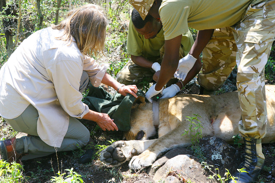Collaring a lion