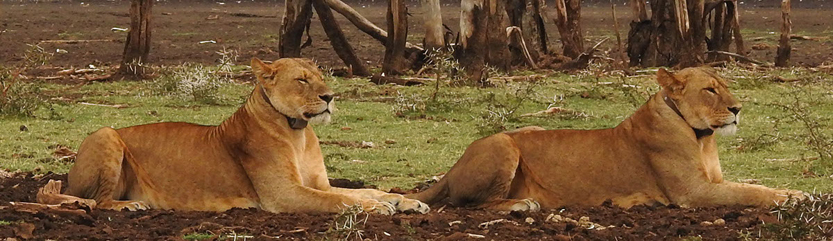 Collard Lions