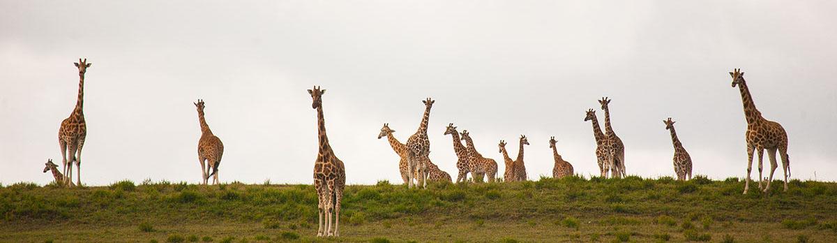 Tower of Giraffe