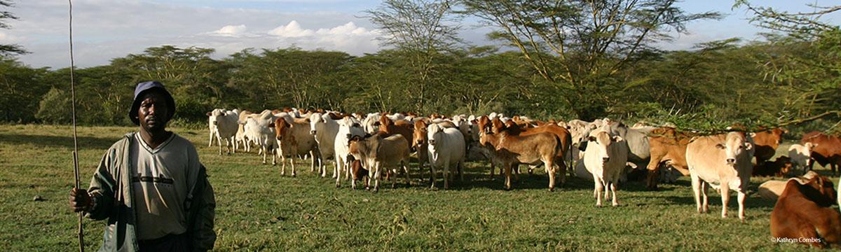 Herdsman with livestock