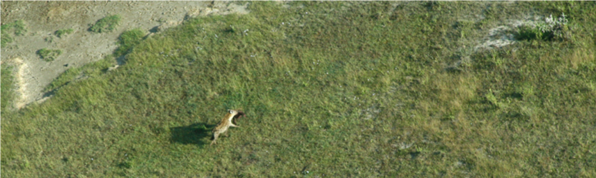 Aerial shot of a moving Hyena