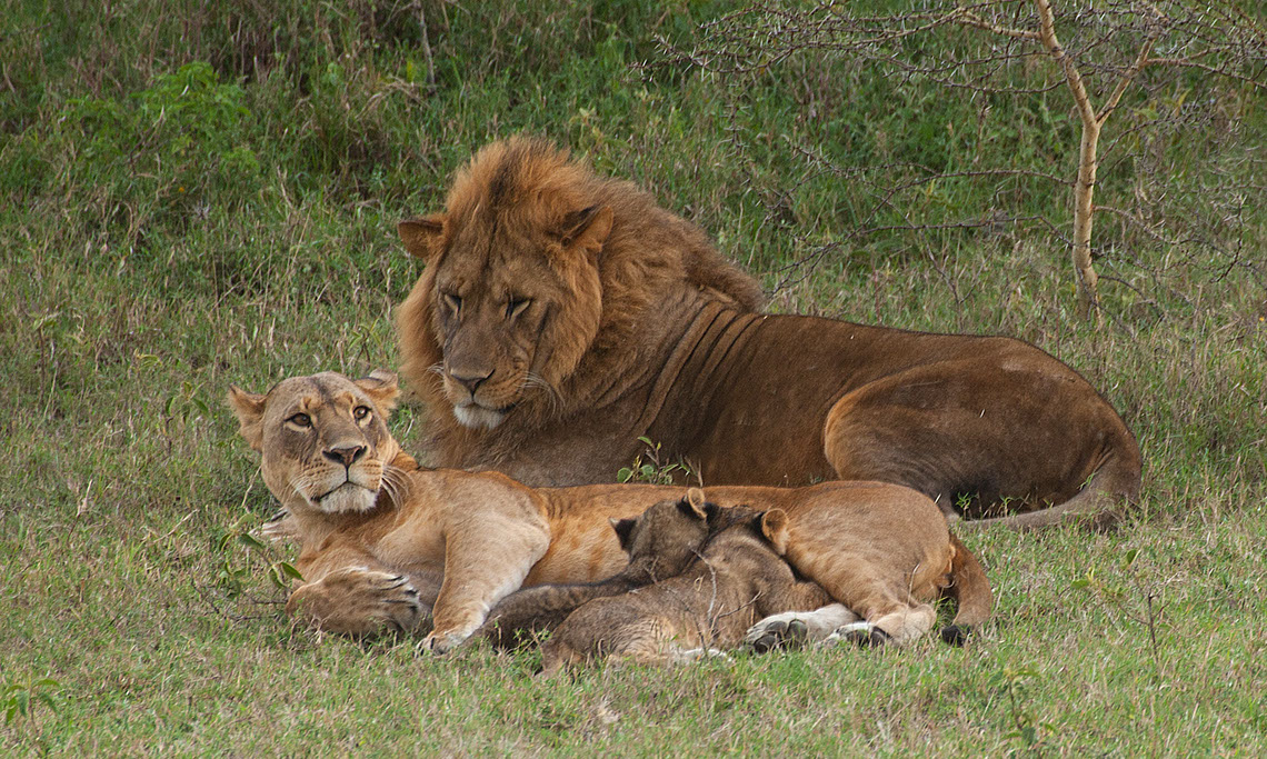 Lioness Betty and family with cubs