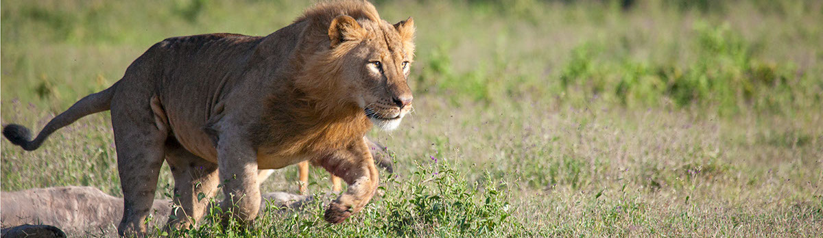 Lunging lion