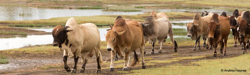 Livestock walking along the lake
