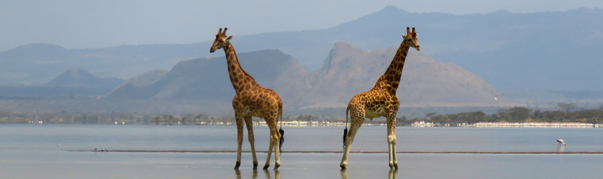 Giraffes near Lake Elmenteita