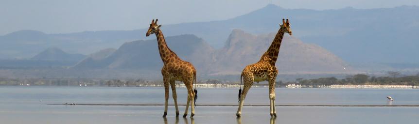 Giraffes near Lake Elmenteita