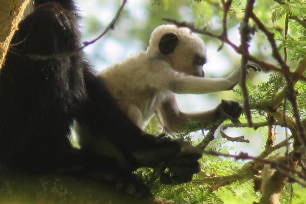 Baby Colobus Monkey