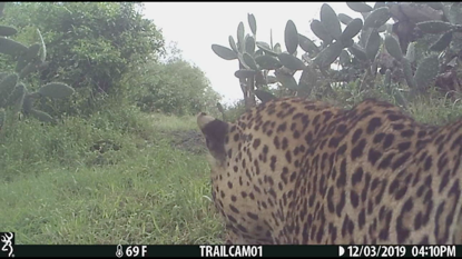 Images and video of leopard from trail cameras