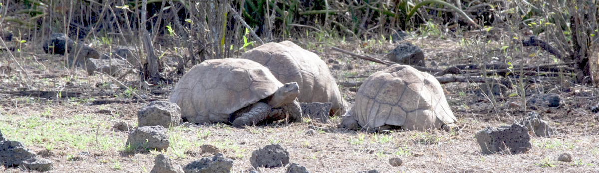 A creep (group) of tortoises