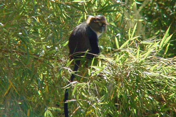 Skyes Monkey